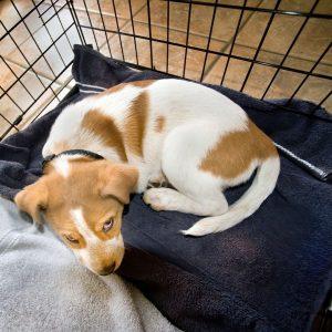 Puppy in a kennel